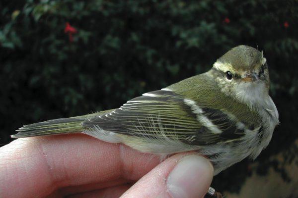yellow-browed-warbler-being-held