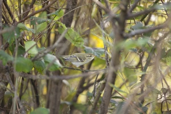 yellow-browed-warbler-perched-in-shrub