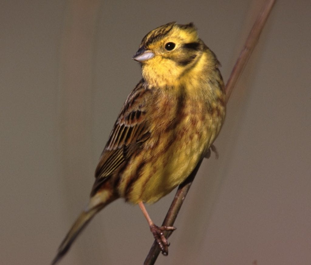 yellowhammer-perched-on-branch-leaning
