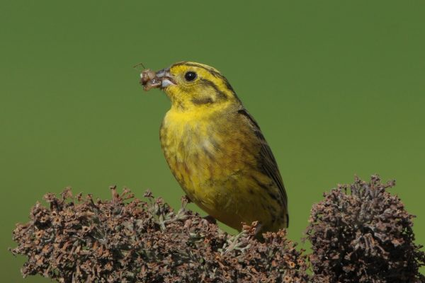 yellowhammer-with-insect-food-in-beak