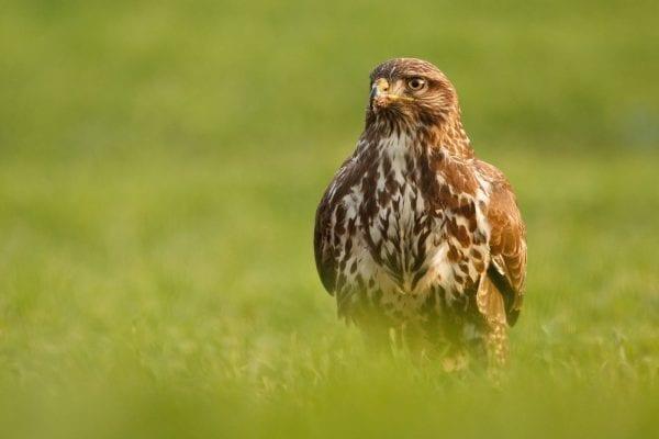 buzzard-sitting-in-field