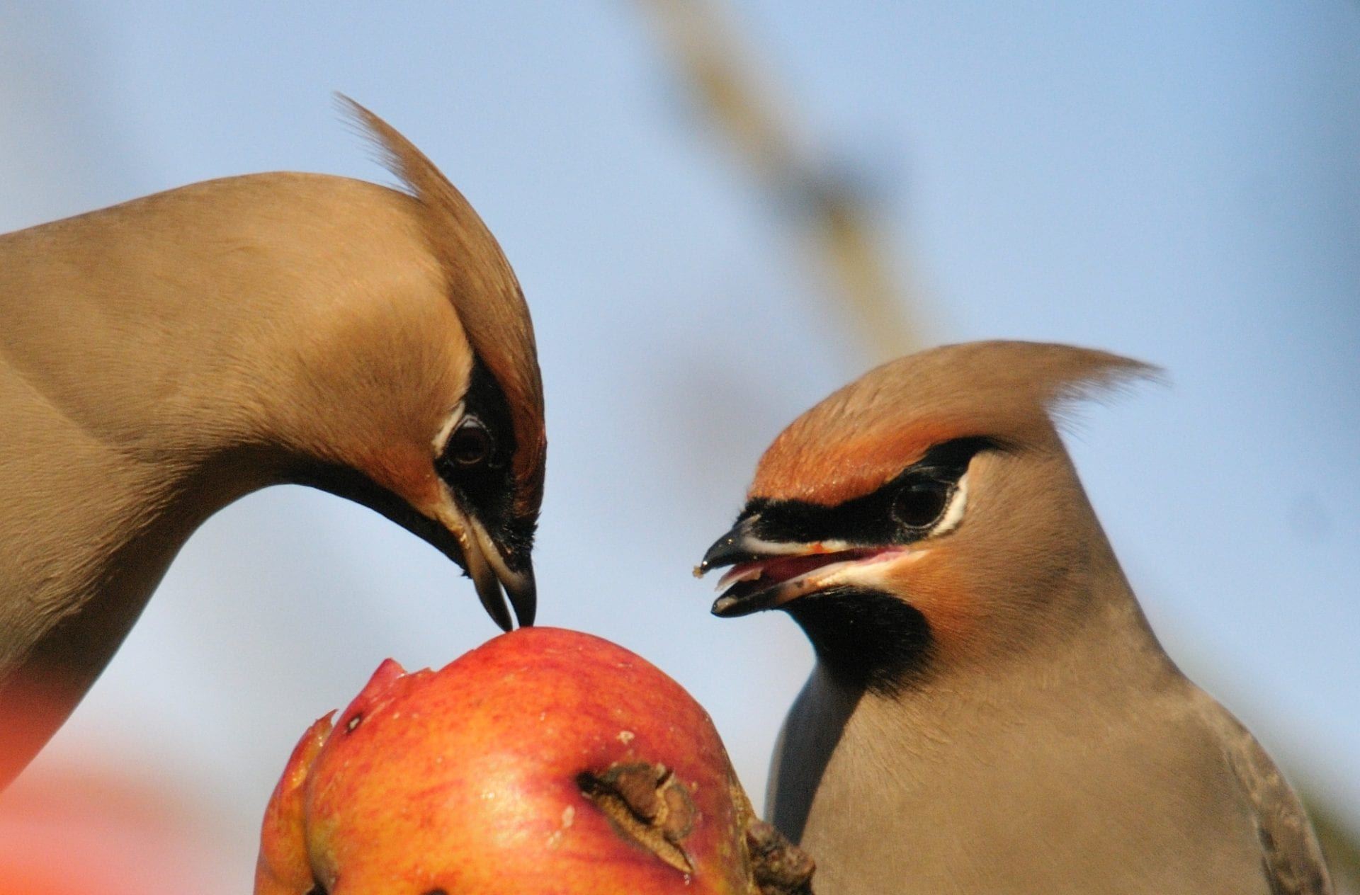 two-waxwings-close-up-feeding-on-apple