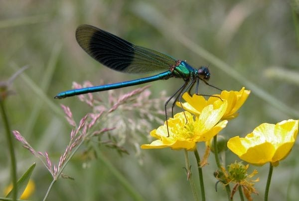 banded-demoiselle-damselfly-on-marsh,marigold