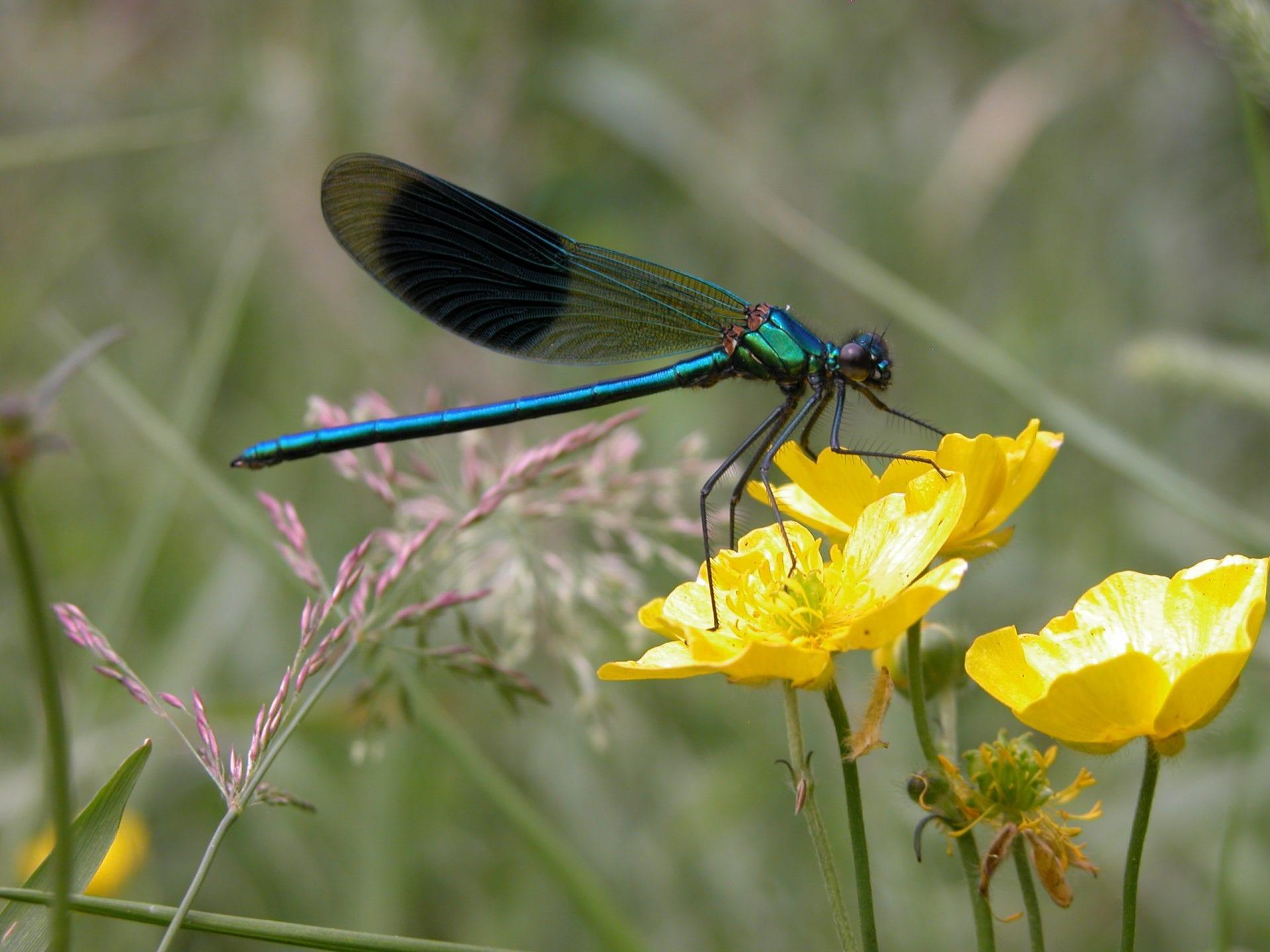 banded-demoiselle-damselfly-on-marsh,marigold