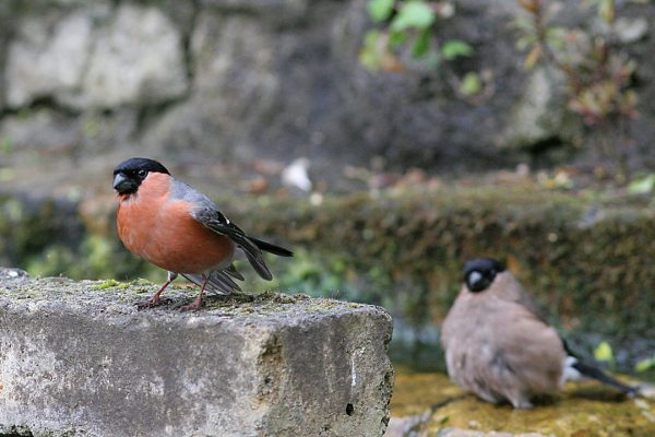 male-and-female-bullfinches-sitting-close-to-one-another