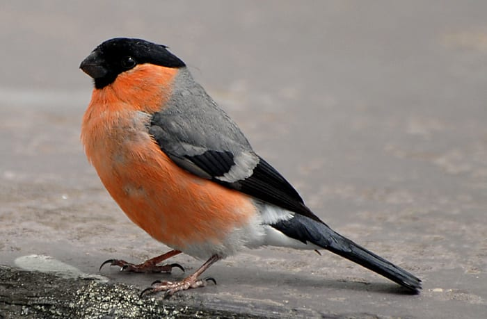 male-bullfinch-standing-on-the ground