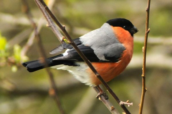 male-bullfinch-perched-on-willow-branch