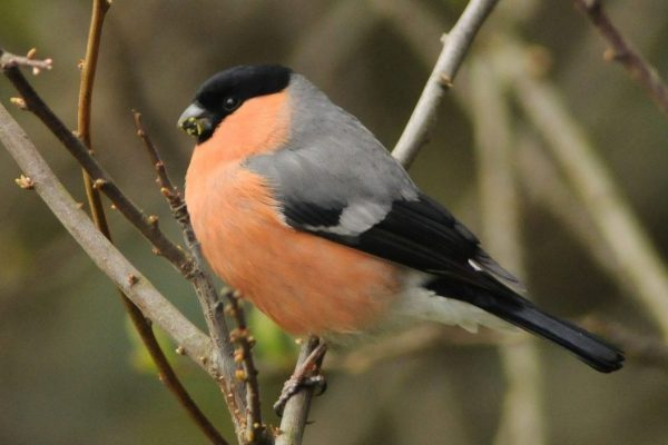 male-bullfinch-perched-on-willow-branch-eating-buds