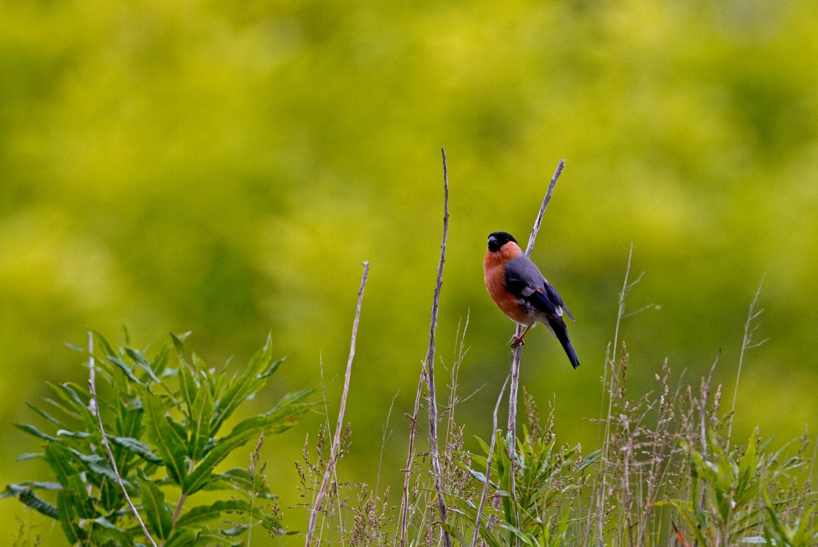 male-bullfinch-in-the distance