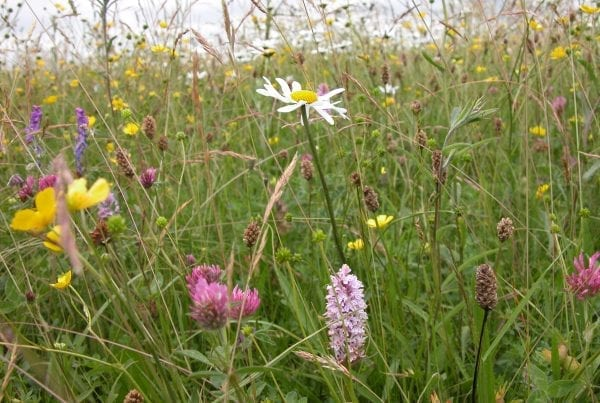 a-wildflower-meadow-in-summer-with-daisies-orchids-clover-and-buttercups