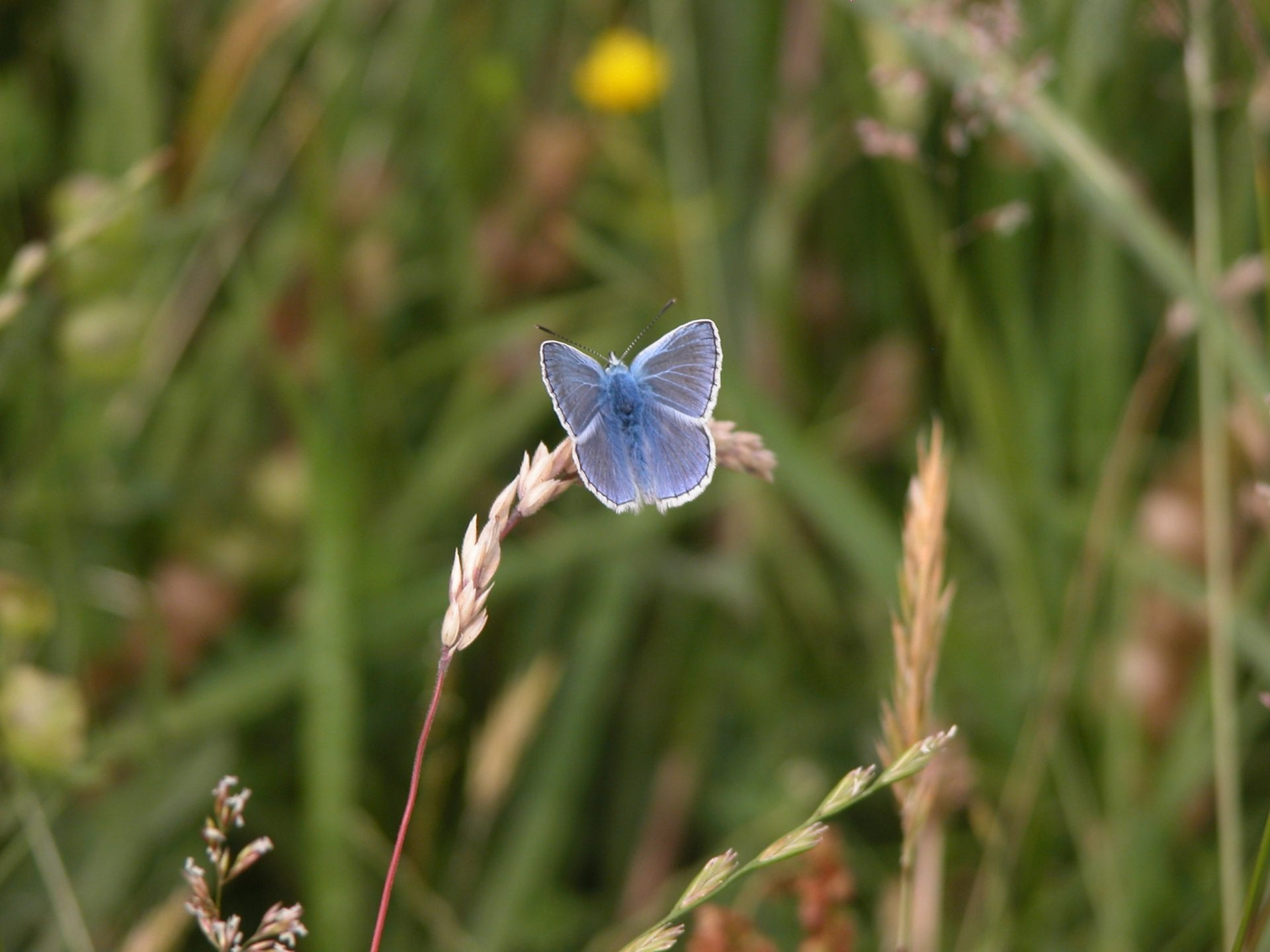 common-blue-butterfly-resting-on-grass-in-meadow