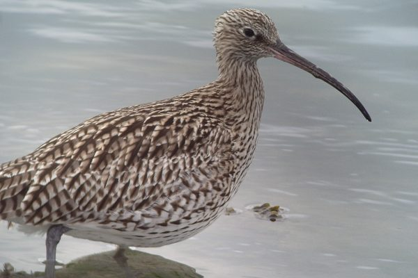 curlew-wading-through-water-close-up-of-crescent-shaped-bill