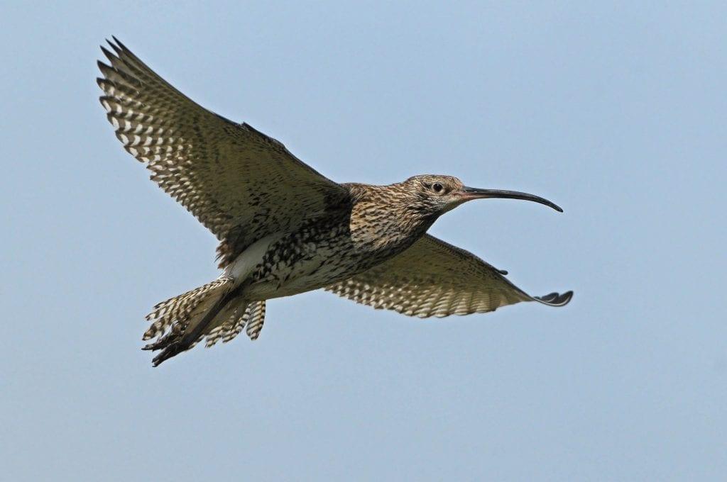 curlew-in-flight