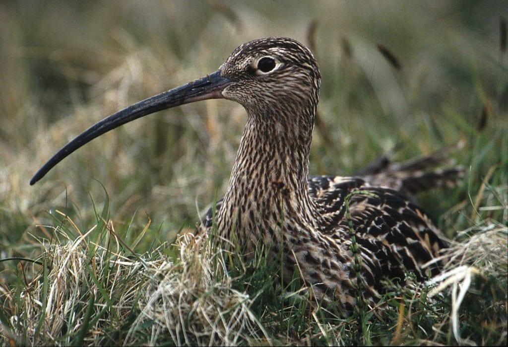 curlew-sitting-on-nest