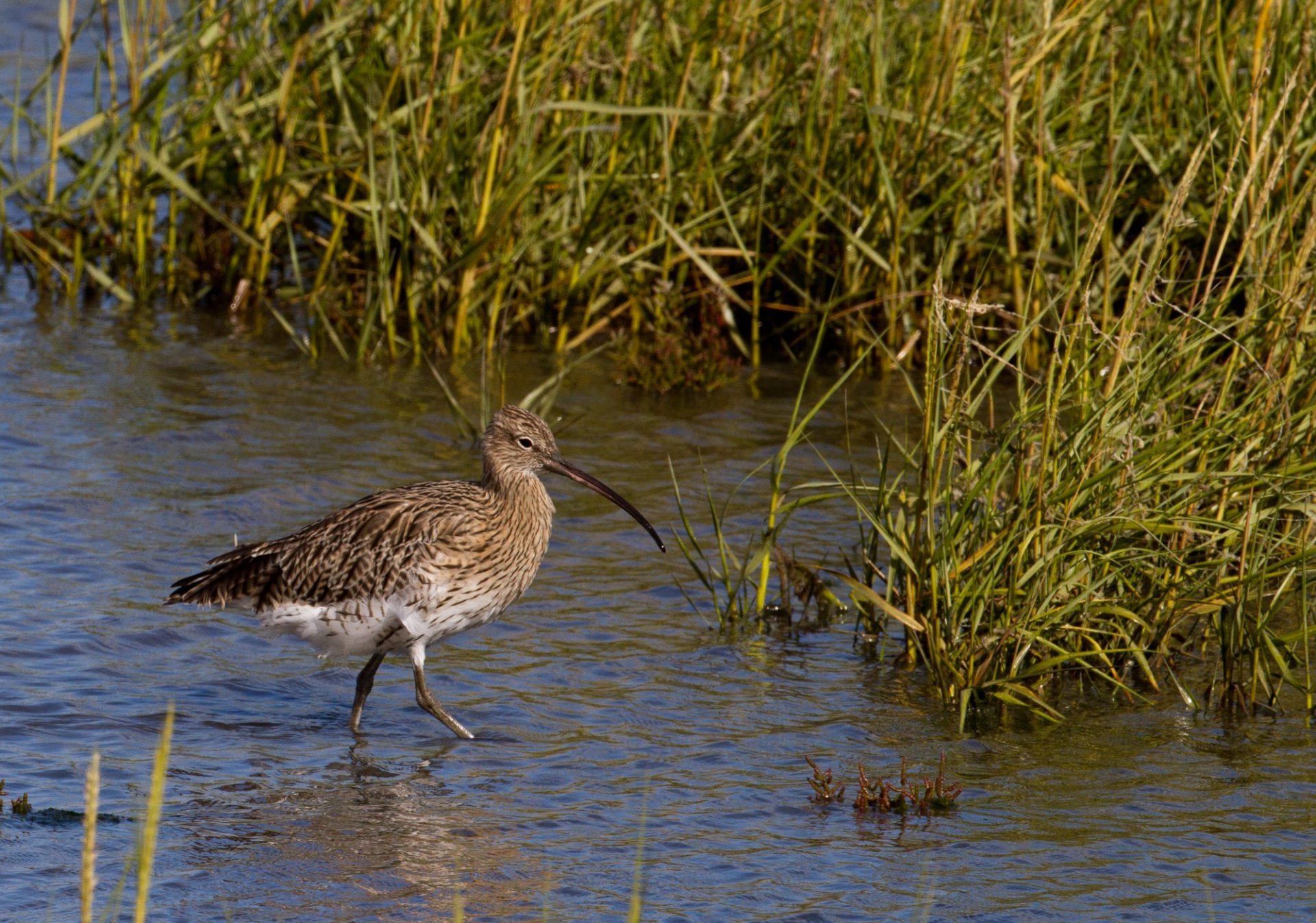 curlew-wading-towards-reed-grasses