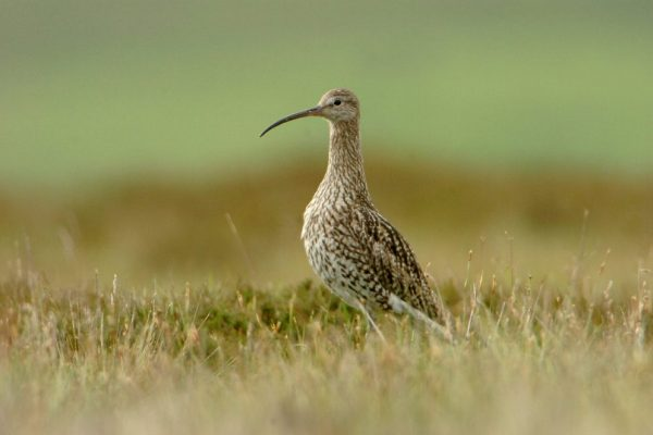 curlew-standing-on-heath
