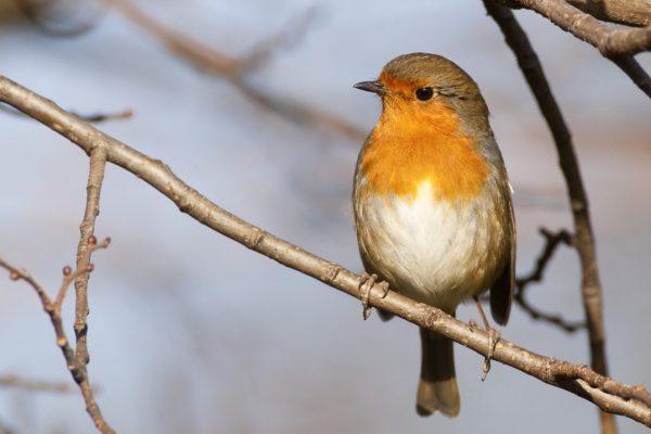 robin-perching-on-branch