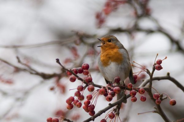 robin-singing-from-on-top-of-a-bush