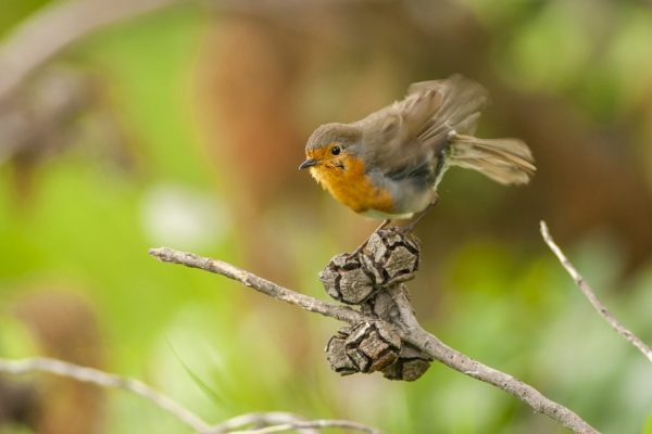 a-robin-with-ruffled-feathers