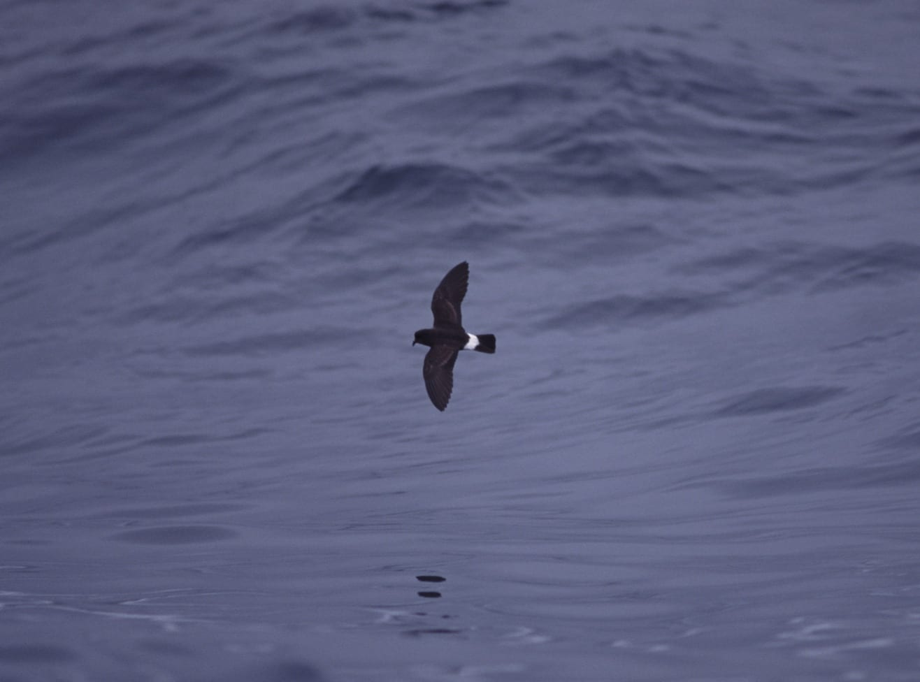 strom-petrel-flying-over-the-sea
