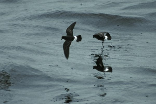 three-strom-petrels-flying-over-the-sea