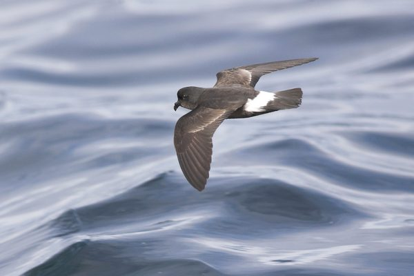 close-up-of-storm-petrel-in-flight