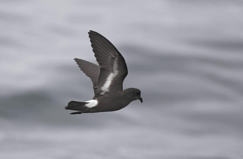 side-profile-of-storm-petrel-in-flight