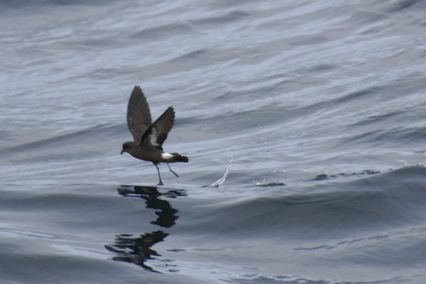 storm-petrel-touching-the-water