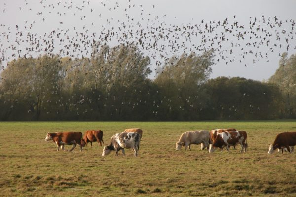 a-large-flock-of-golden-plover-flying-over-farmland-with-cattle