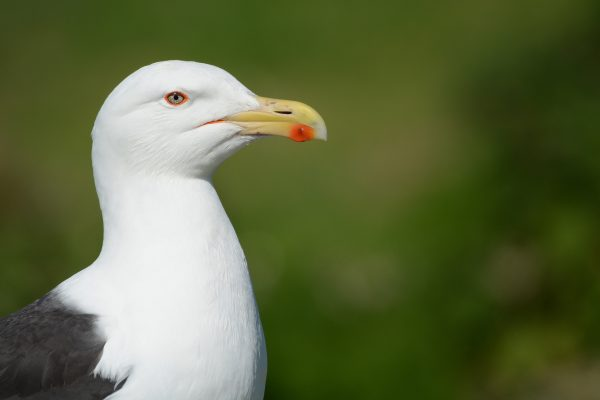 great-black-backed-gull-close-up