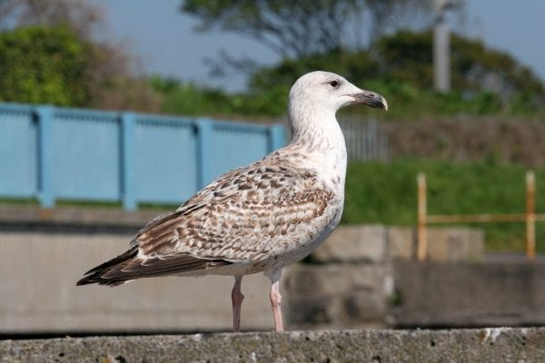 juvenile-great-black-backed-gull-standing-on-wall