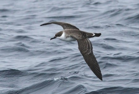 great-shearwater-flying-over-water