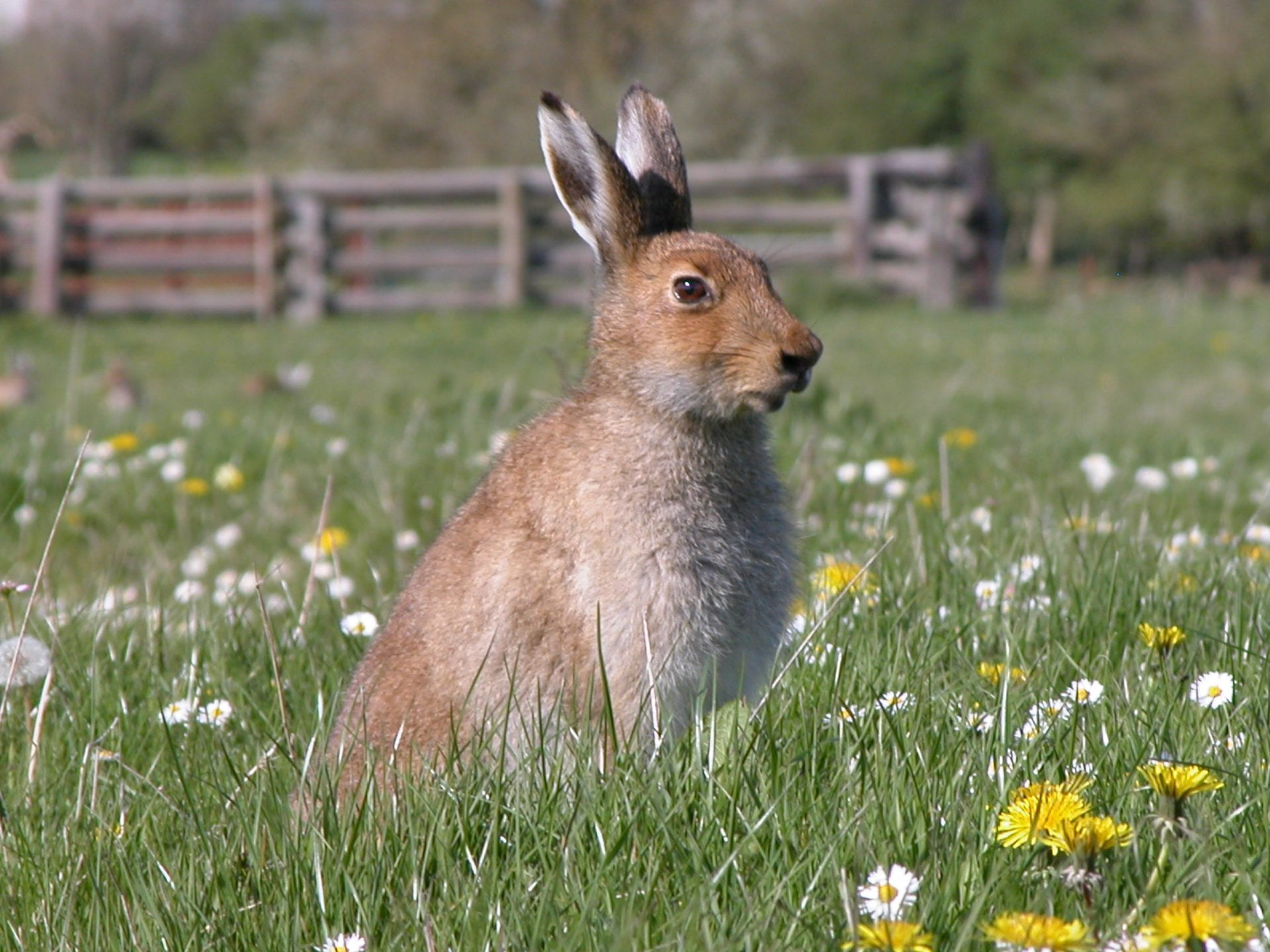 Irish-Hare-sitting-in-field-surrounded-by-daisies