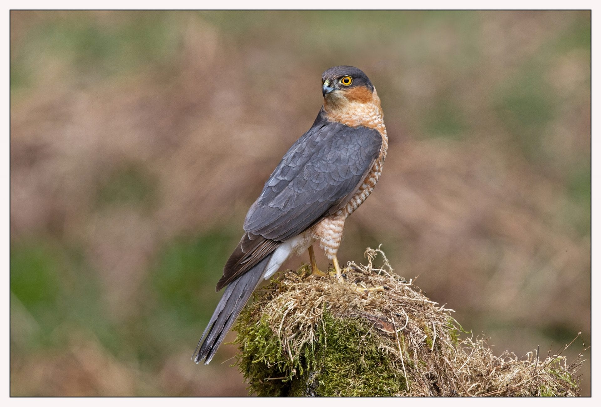 male-sparrowhawk-perching-on-mossy-rock
