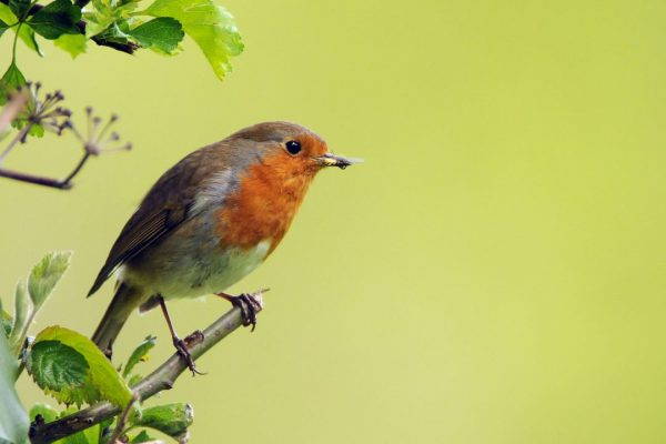 robin-on-the-edge-of-a-bush-with-insect-prey-in-beak