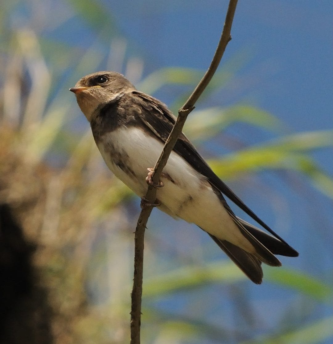 sand-martin-perched-on-branch