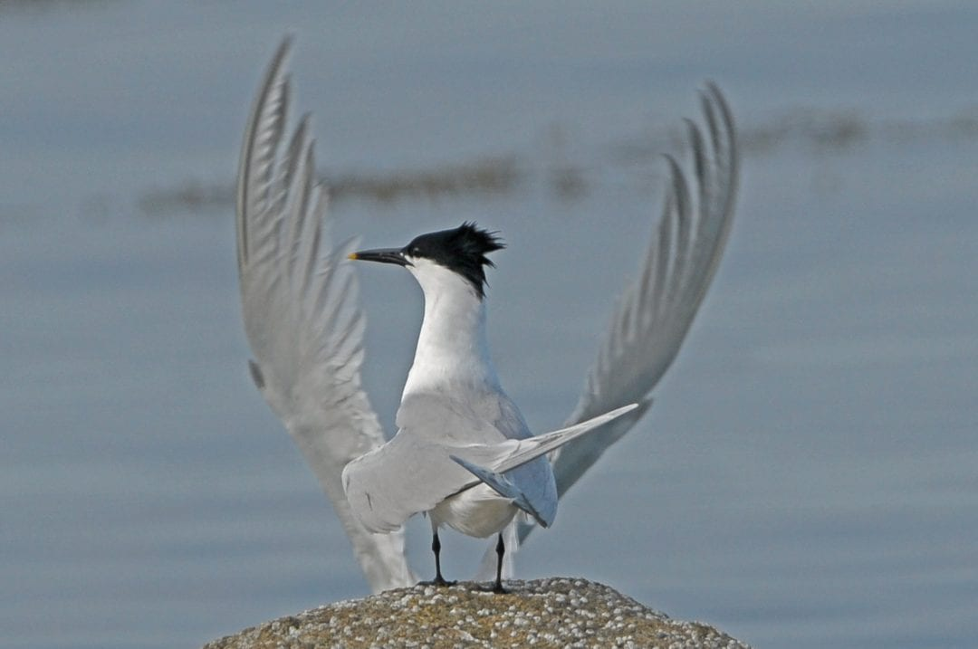sandwich-tern-standing-on-rock