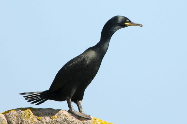 shag-standing-on-a-rock