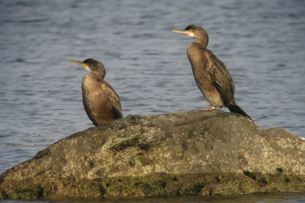 two-shags-standing-on-a-rock-surrounded-by-water