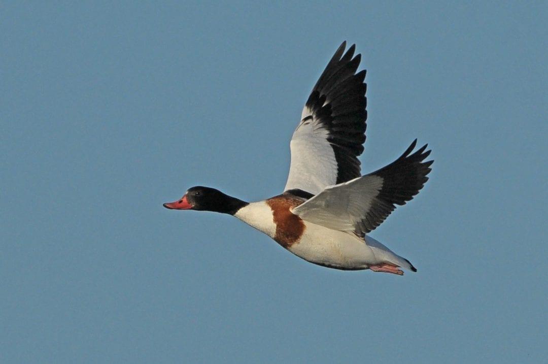 shelduck-in-flight