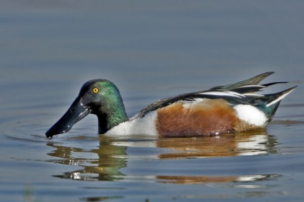 shoveler-duck-swimming-left