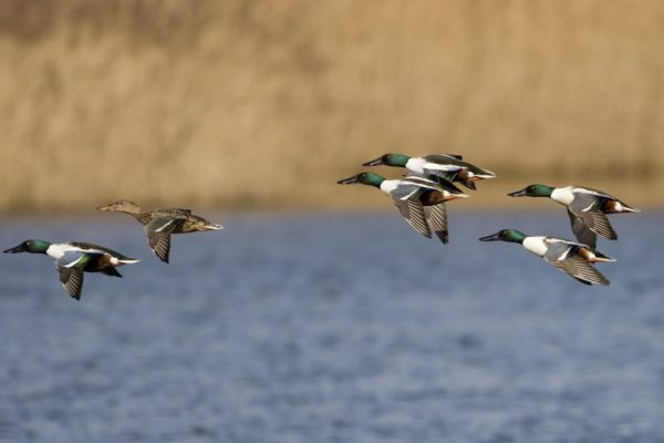 six-shoveler-ducks-flying-left-over-water