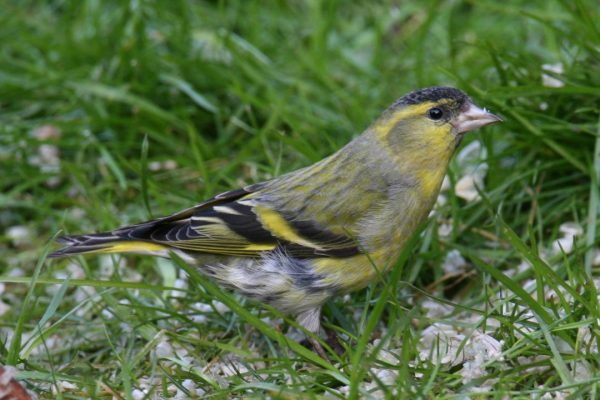 siskin-standing-in-grass