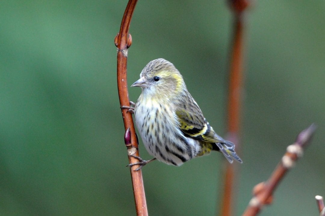 siskin-perched-on-branch