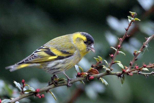 siskin-perched-on-branch-looking-downwards