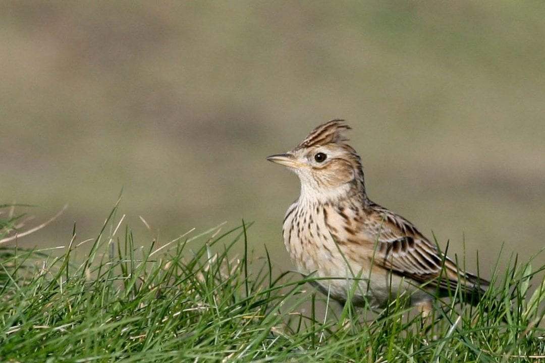 Skylark-standing-in-grass