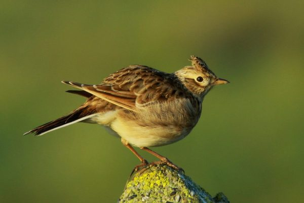 skylark-perching-on-rock