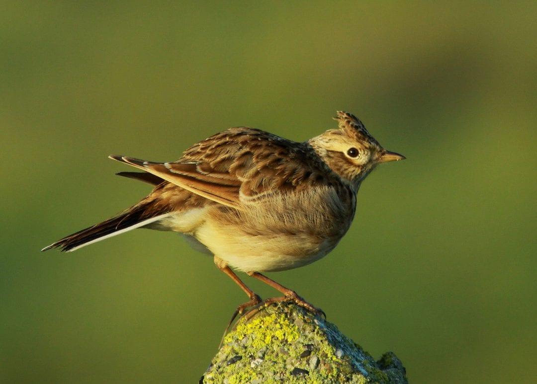 skylark-perching-on-rock