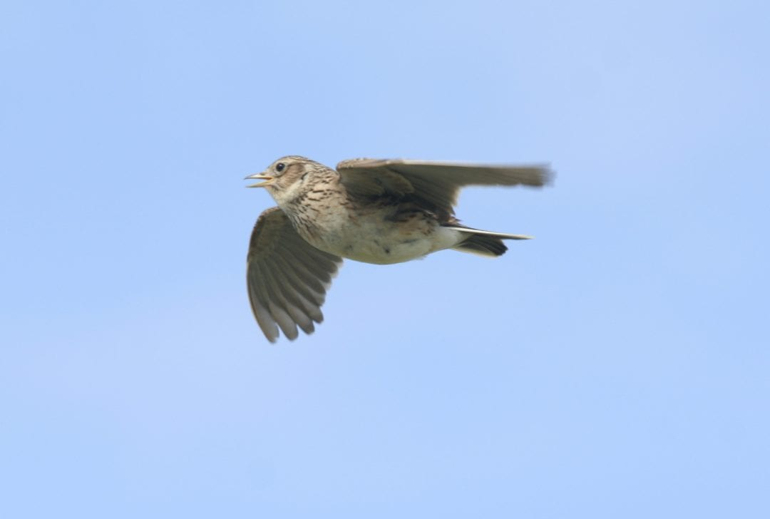 skylark-in-flight-blue-sky-background