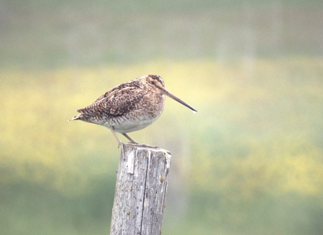 snipe-standing-on-fencing-post